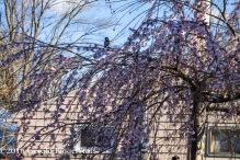 aprilflowers-1