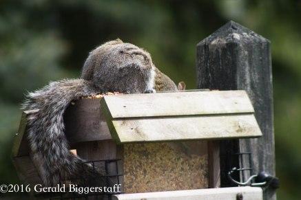 squirreleat-1